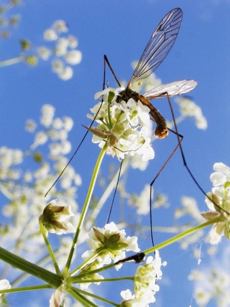 Crane Fly. Damien Demolder