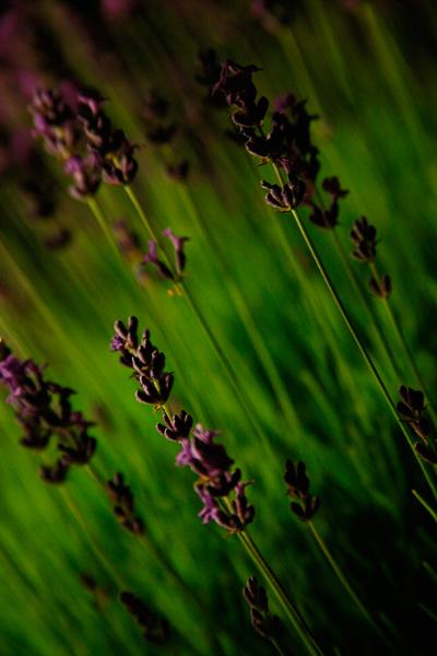 Lavender shot at night by lamp light, by Damien Demolder